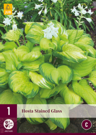 Hosta 'Stained Glass', Hartlelie