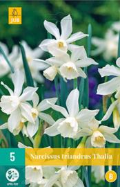 Narcissus botanisch 'Triandrus Thalia'