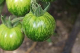 Tomaat 'Green Zebra', Solanum lycopersicum L. Biologisch