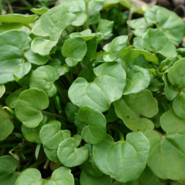 Lepelblad, Cochlearia officinalis Biologisch