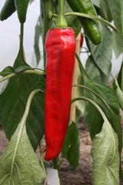 Zoete rode puntpaprika 'Xaro', Capsicum annuum Biologisch