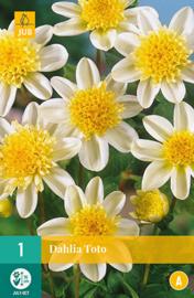 Dahlia anemone 'Toto' 70 cm