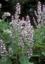 Salvia sclarea, scharlei Biologisch
