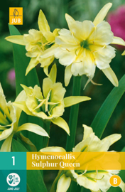 Hymenocallis sulphur 'Queen', Spinlelie