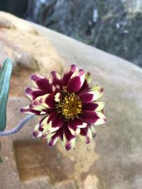 Zinnia angustifolia 'Persian Carpet', Zinnia laag