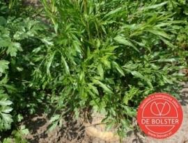 Wortelpeterselie, Petroselinum crispum var. tuberosum Biologisch