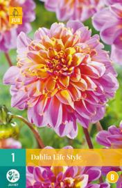Dahlia anemone 'Life Style' 80 cm