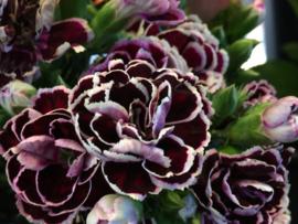Dianthus chinensis 'Chianti', Chinese Anjer
