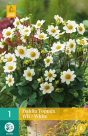 Dahlia border topmix 'White' 50 cm