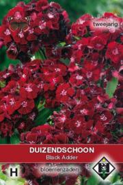 Dianthus barbatus 'Black Adder', Duizendschoon