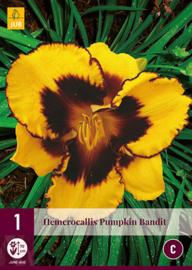 Hemerocallis 'Pumpkin Bandit', Daglelie