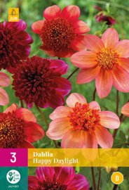 XXL pack Dahlia anemone Happy Daylight