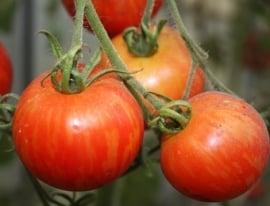 Tomaat 'Tigerella Bicolore', Solanum lycopersicum L. Biologisch