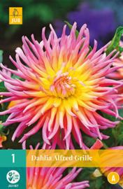 Dahlia cactus 'Alfred Grille' 100 cm