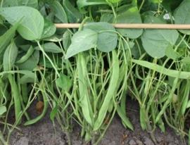 Stamsnijboon 'Nassau', Phaseolus vulgaris Biologisch