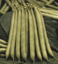 Stamslaboon sperzieboon 'Montano', Phaseolus vulgaris