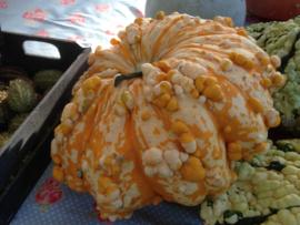 Patisson 'Warted Mixture', Cucurbita pepo