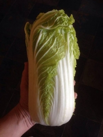 Chinese kool 'Granaat', Brassica rapa var. pekinensis Biologisch