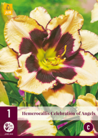 Hemerocallis 'Celebration of Angels', Daglelie