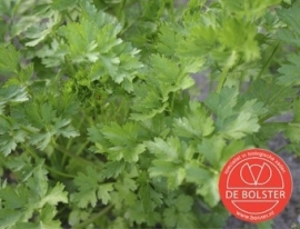 Peterselie gewone snij, Petroselinum crispum var. naepolitanum Biologisch