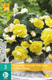 Begonia cascade 'Odorosa Yellow Flame'