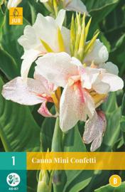 Canna MINI 'Confetti', Indisch bloemriet