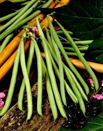 Stokslaboon sperzieboon 'Cobra', Phaseolus vulgaris Biologisch