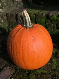 American pumpkinpie