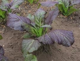 Bladkool amsoi Asia salat 'Giant Red', Brassica juncea ssp. integrifolia Biologisch