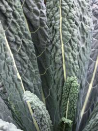 Palmkool 'Nero di Toscana', Brassica oleracea L. convar. acephala Biologisch
