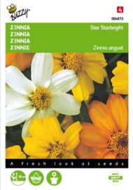 Zinnia angustifolia 'Starbright', Zinnia laag