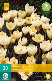 Crocus botanisch 'Cream Beauty'