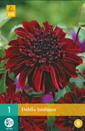 Dahlia anemone 'Soulman' 100 cm