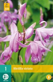 Bletilla striata - Japanse orchis