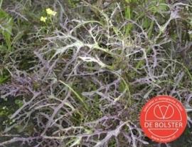 Bladmosterd 'Purple Frills', Brassica juncea var. rugosa Biologisch