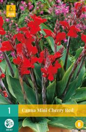 Canna MINI 'Cherry Red', Indisch bloemriet