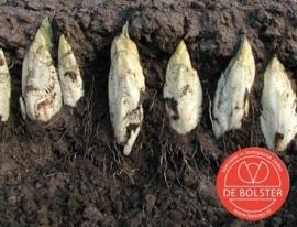 Witlof 'Hollandse Middenvroeg', Cichorum intybus var. foliosum Biologisch