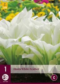 Hosta 'White Feather', Hartlelie
