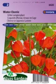 Physalis alkekengi franchetii, Lampionplant