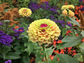 Zinnia elegans 'Queen Lime With Blush', Zinna