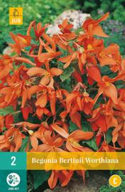 Begonia Bertinii Worthiana - Boerenbegonia