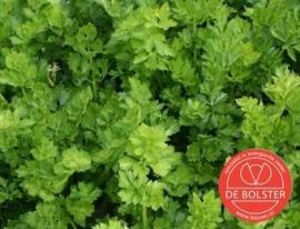Selderij gewone snij, Apium graveolens var. secalinum Biologisch