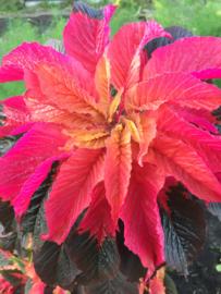 Amaranthus gangeticus 'Garden Select', Bladamarant driekleur