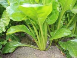 Snijbiet 'Groene Gewone', Beta vulgaris var. cicla Biologisch