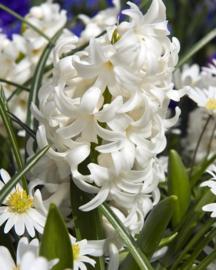 Hyacinth enkelbloemig 'Carnegie'