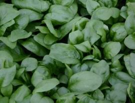 Spinazie scherpzaad 'Vroeg Reuzenblad', Spinacia oleracea Biologisch