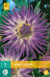 Dahlia cactus 'Veritable' 120 cm