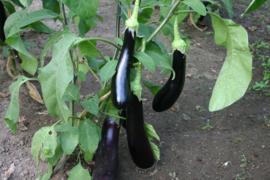Aubergine 'Violetta Lunga 3', Solanum melongena Biologisch