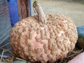 Pompoen 'Galeux d'Eysines', Cucurbita maxima