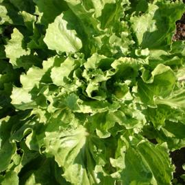 Andijvie groenlof roodlof witlof en cichorei